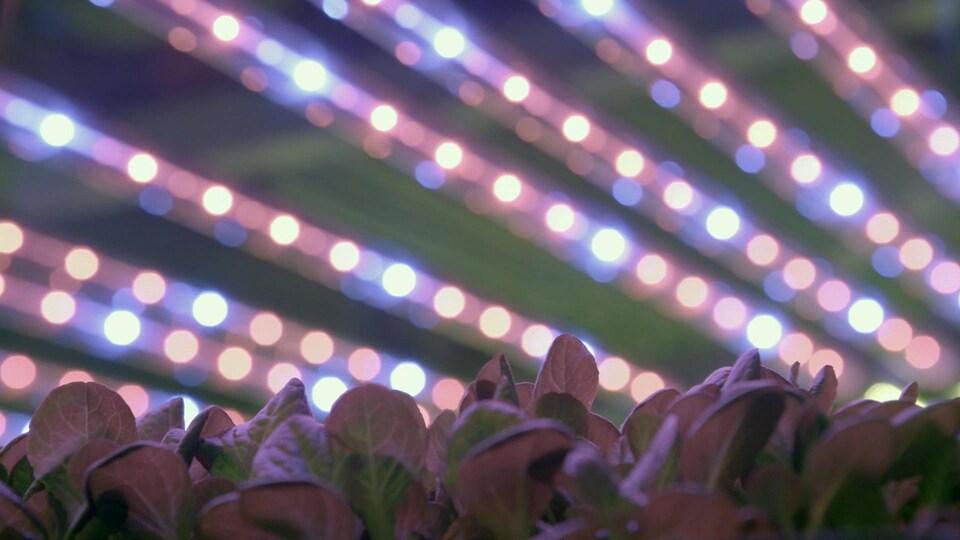 Ferme d'AeroFarms, Newark. On voit des plantes poussant sous une lumière bleue-rouge.