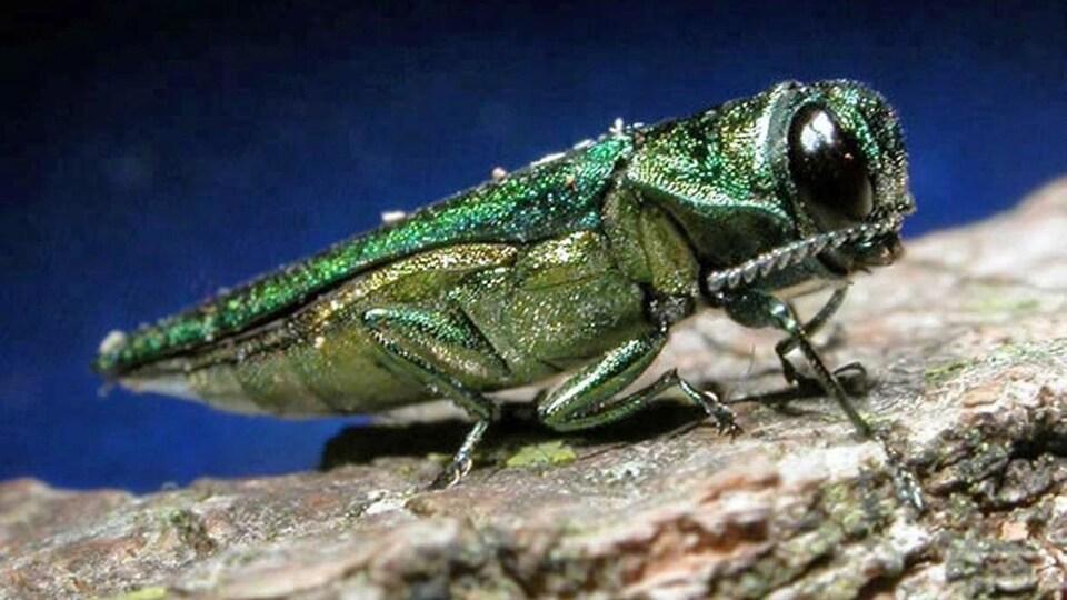 Un insecte vert doré en gros plan.
