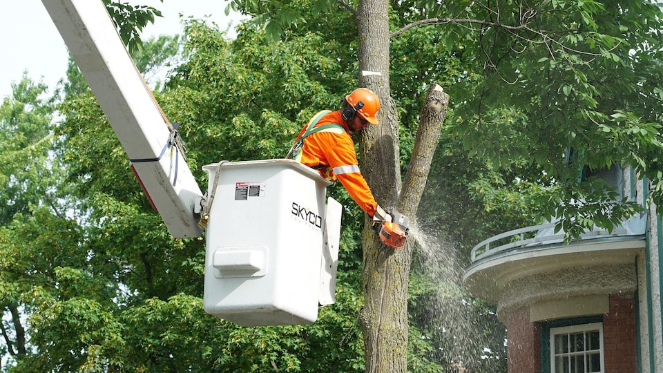 La Ville de Québec compte près de 12 000 frênes publics.