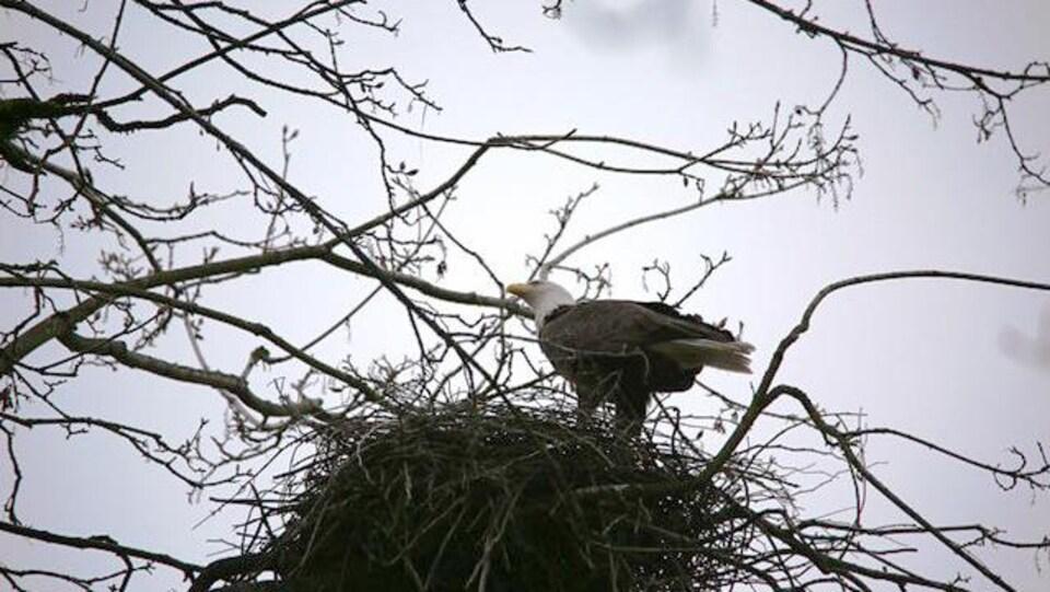 Un aigle se dresse dans un nid de héron.