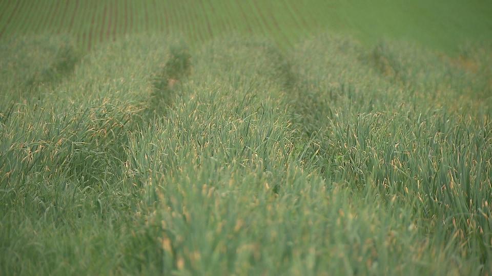 Parcelle de terre chez un maraîcher mise en culture pour l'ail.