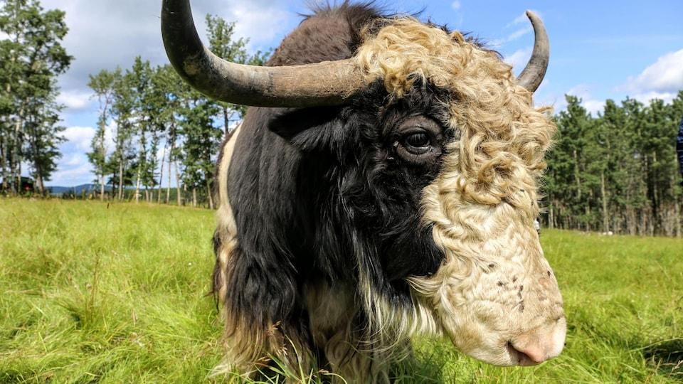Un yak vu de proche.