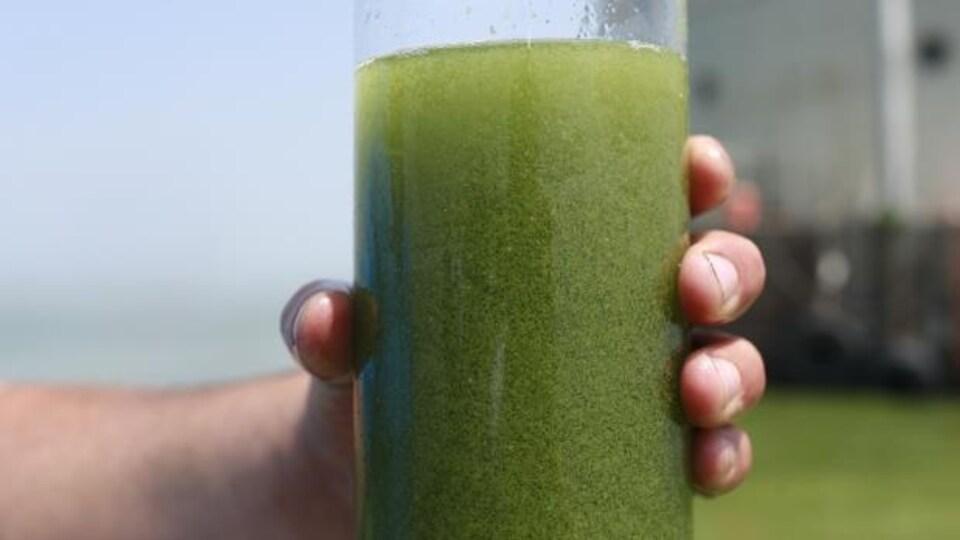 Échantillon de cyanobactéries dans un contenant.