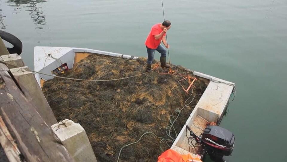 Un travailleur dépose des algues dans un bateau à l'aide d'une perche