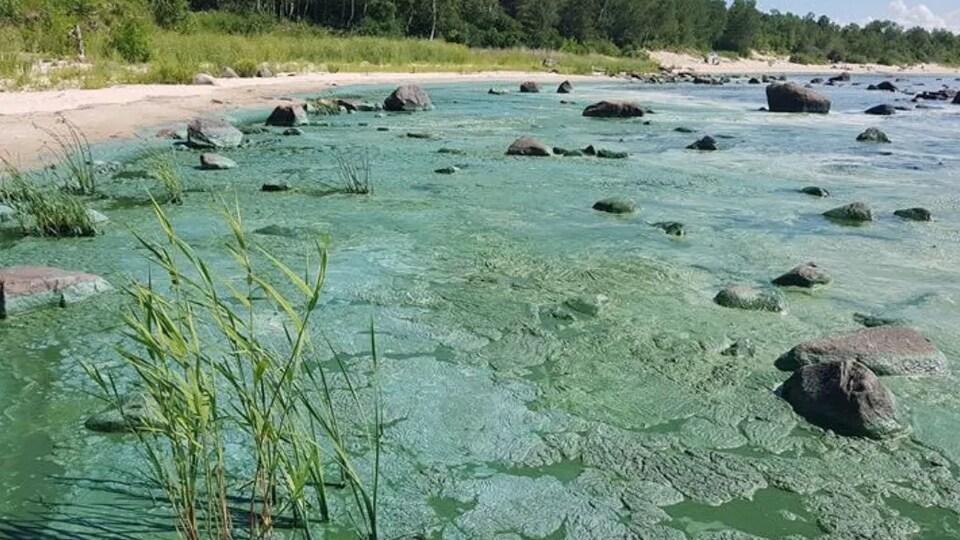 Des algues bleues vertes recouvrent les plages du lac Winnipeg.