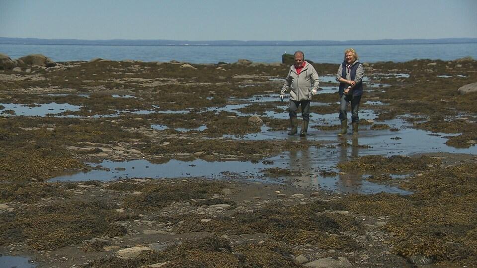 Jean-Pierre Gagnon et Carmen Vaillancourt marchent dans les algues, à marée basse.