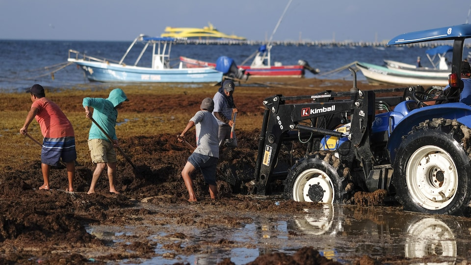 Des hommes ramassent à la pelle des algues sur une plage.