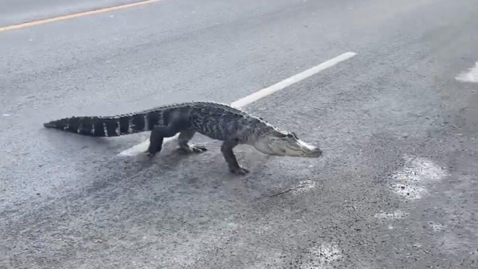 Un alligator dans la rue.