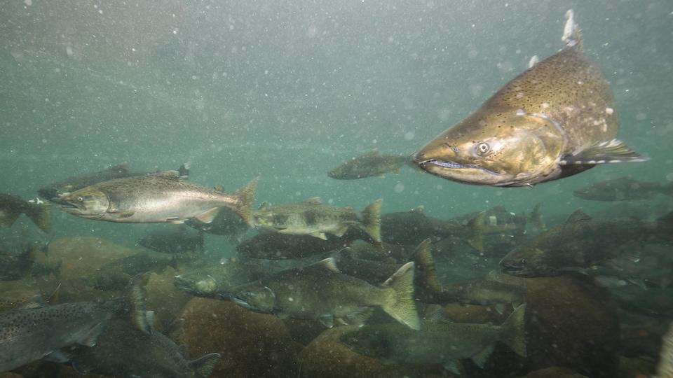 Des saumons dans une rivière.