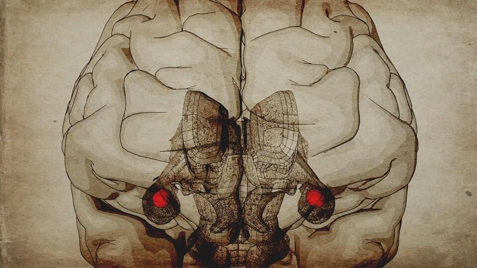 Infographie de l'amygdale dans le cerveau