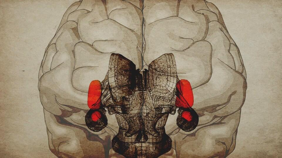 Infographie de l'amygdale et du cortex insulaire
