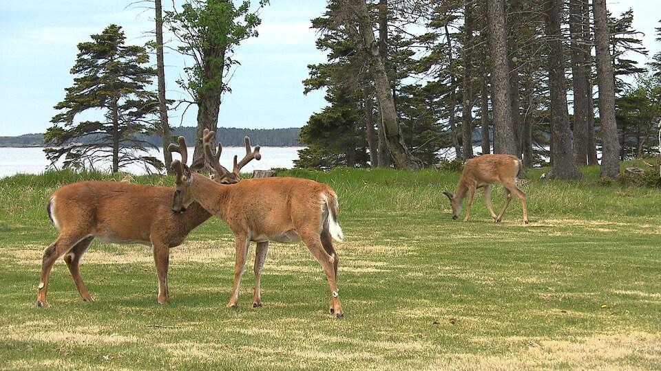 Trois cetfs dans l'herbe sur l'île d'Anticosti
