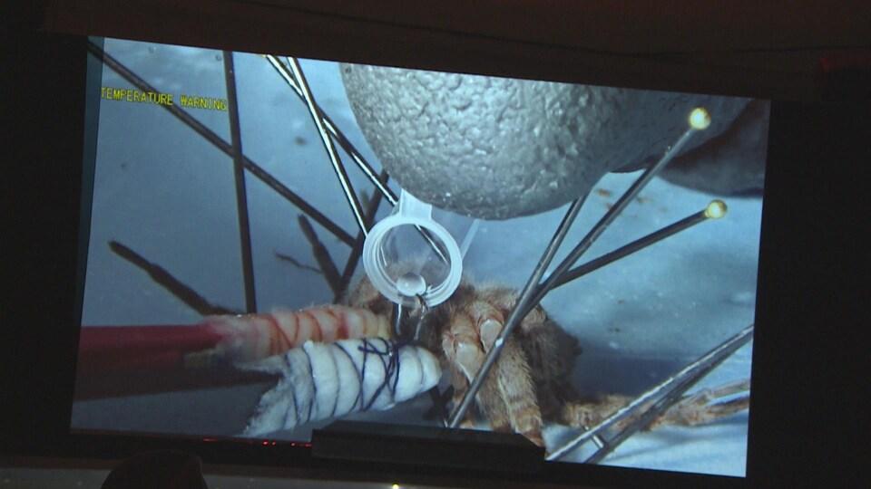La manipulation d'une araignée projetée sur une écran géant.