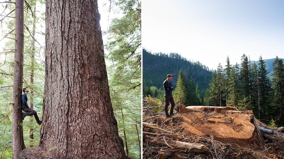 Deux photos montrent l'avant et l'après coupe d'un sapin de Douglas.