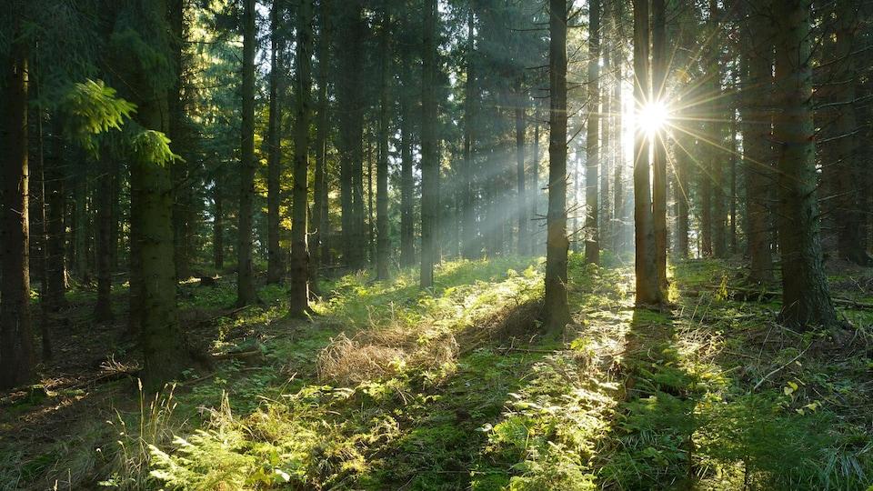 Des arbres dans une forêt boréale.