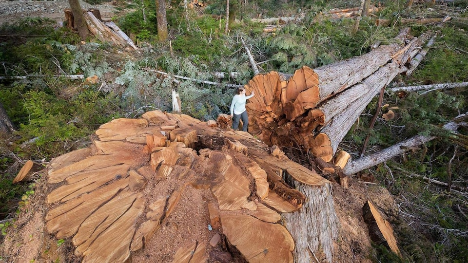Un arbre géant abattu avec une grande souche et une femme qui apparaît toute petite à côté.