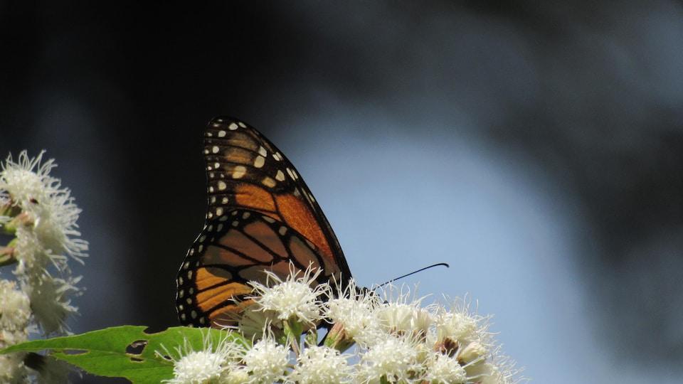Un monarque sur une asclépiade blanche