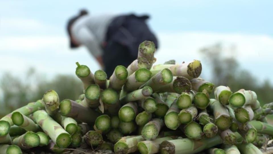 Un tas d'asperges coupées avec, en arrière-plan, une récolteuse