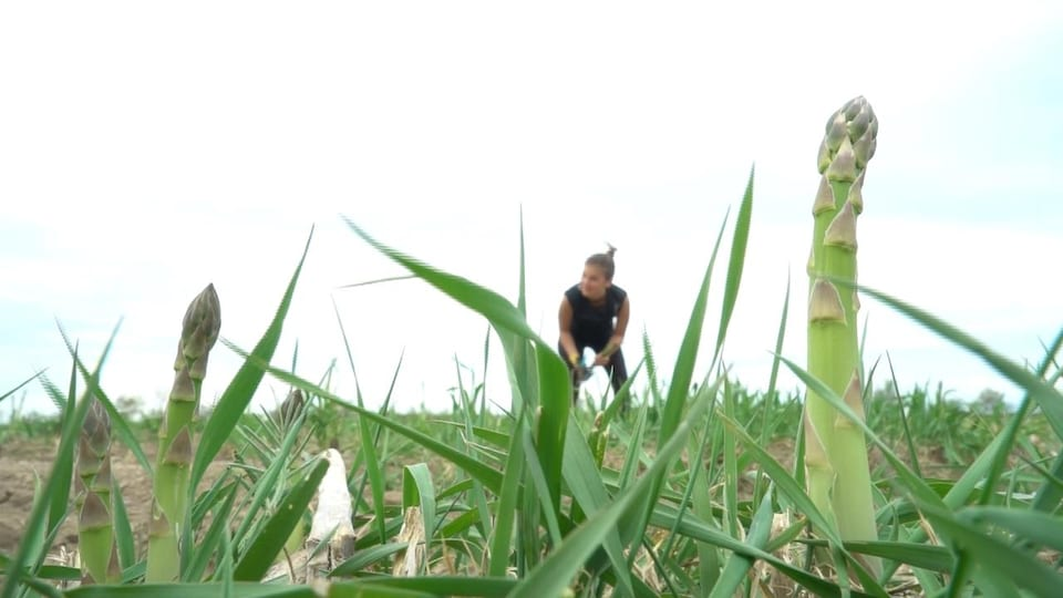 Une femme cueille des asperges, accroupie