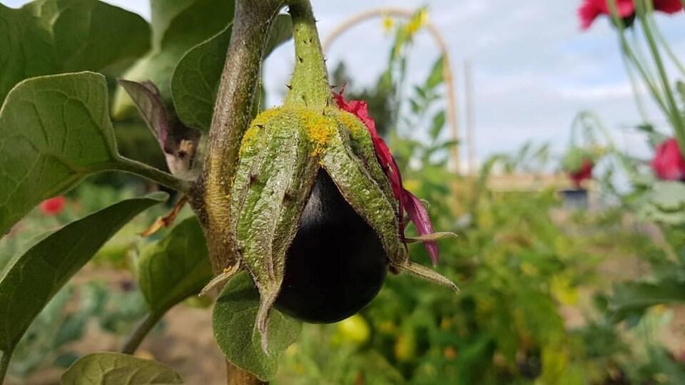 Une jeune aubergine au potager en été.