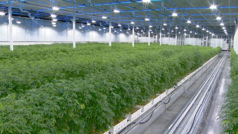 Une usine de cannabis avec des rangées de plantes.