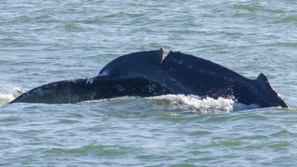 Une baleine à bosse avec une coupure profonde.