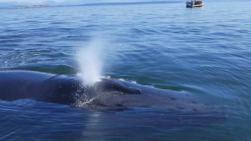 Une baleine à bosse à la surface de l'eau.