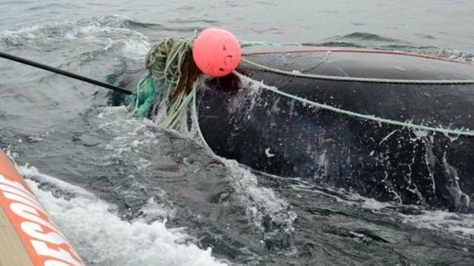 Joe Howlett a sauvé plusieurs baleines prises dans des filets de pêcheurs par le passé, comme celle-ci en août 2016.