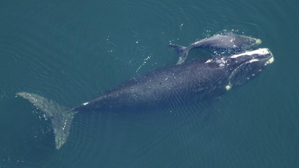 Une baleine noire de l'Atlantique Nord femelle et son baleineau dans l'océan Atlantique au large de la frontière entre la Floride et la Géorgie, en février 2009.