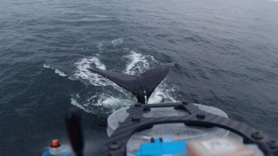 Un petit drone à quatre hélices survole une baleine à la surface de la mer.