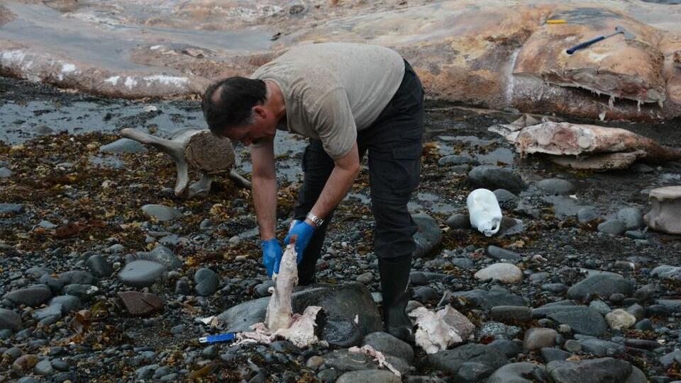 Le vétérinaire examine la baleine sur la côte.