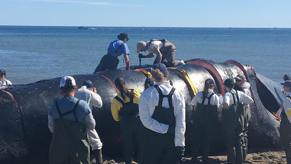 Sur une plage, une dizaine de scientifiques s'affairent sur la carcasse échouée et autour de celle-ci.