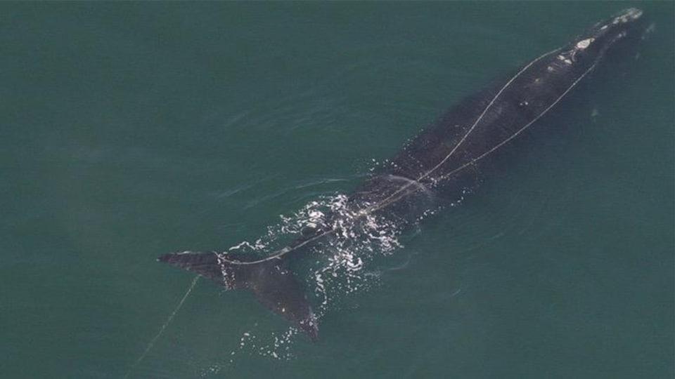 Cette baleine noire est restée prise dans des cordages de pêche pendant trois ans, avant d'être secouru, près de Cape Cod, aux États-Unis.