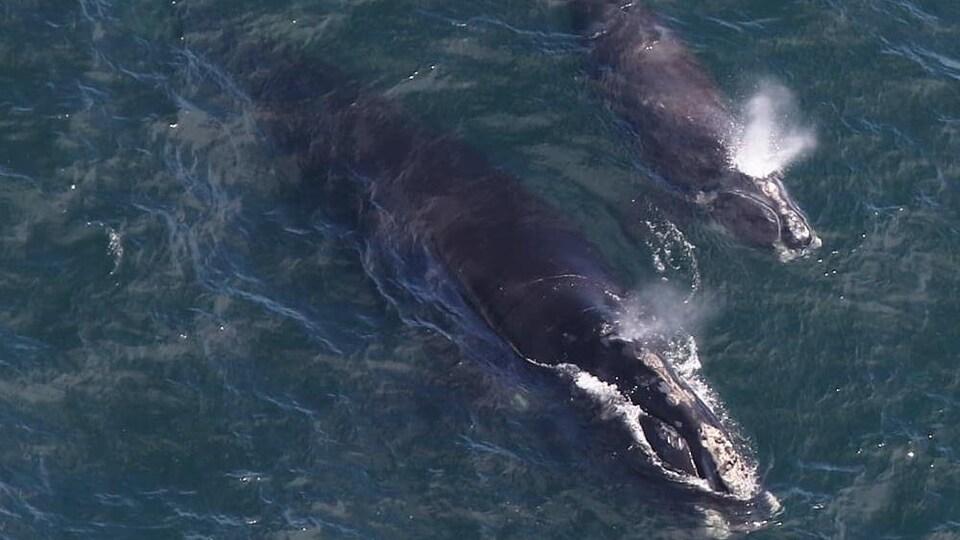 Une femelle baleine noire de l'Atlantique Nord, baptisée EgNo 4180, et son baleineau aperçus dans la baie de Cape Cod le 11 avril 2019.