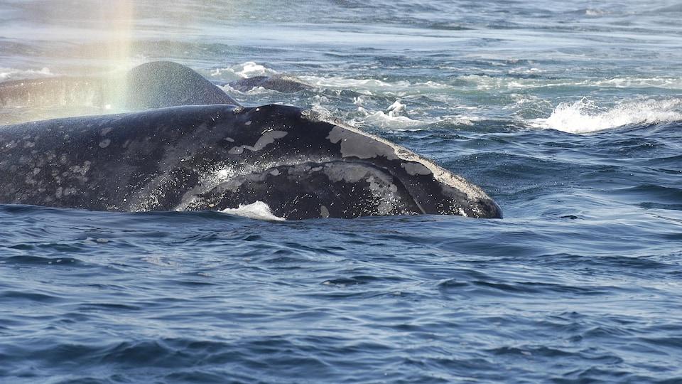 Une des baleines retrouvées mortes.