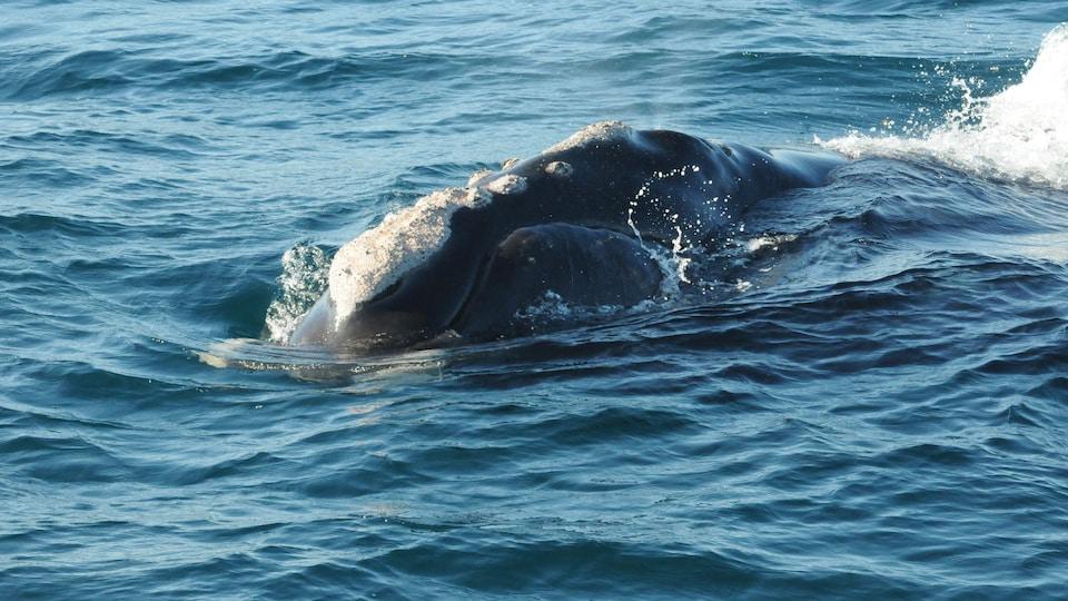 Une baleine.