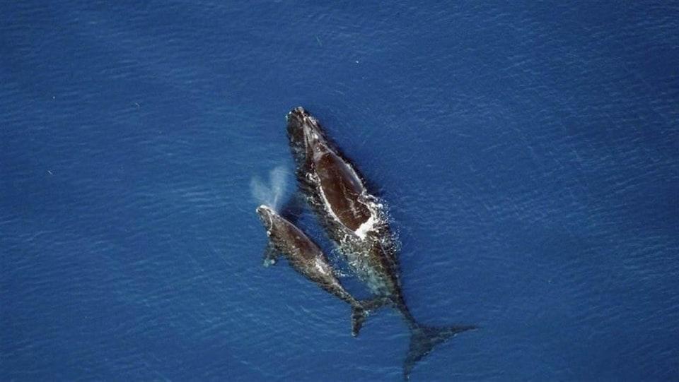 Deux baleines noires dans l'eau