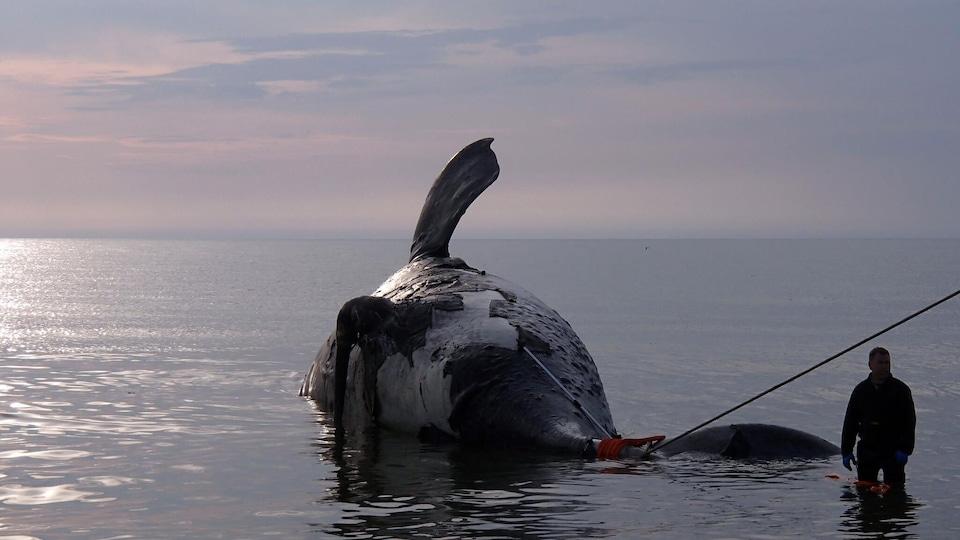 Une baleine noire morte dans le golfe du Saint-Laurent
