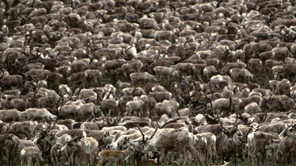 Des centaines de caribous qui paissent.