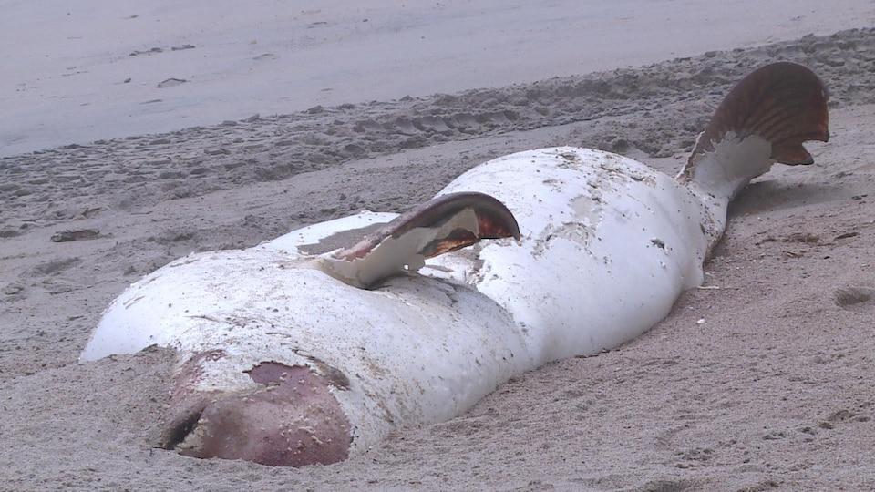 Une carcasse de béluga en décomposition dans le sable