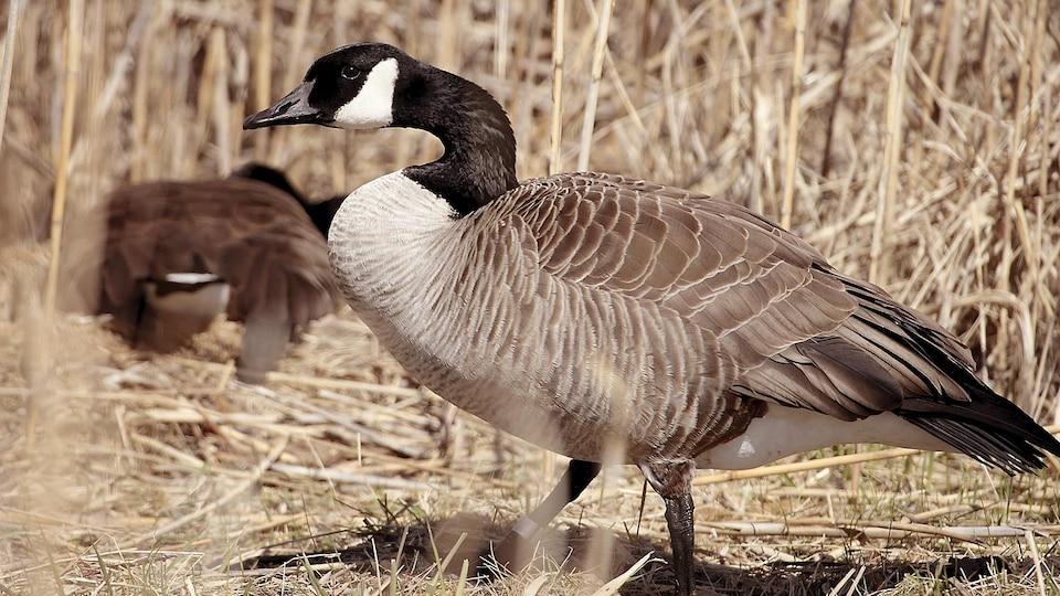 Un couple de bernaches en période d'incubation. Le mâle surveille le nid et la femelle.