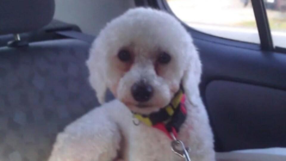 Le petit chien est assis dans une voiture.