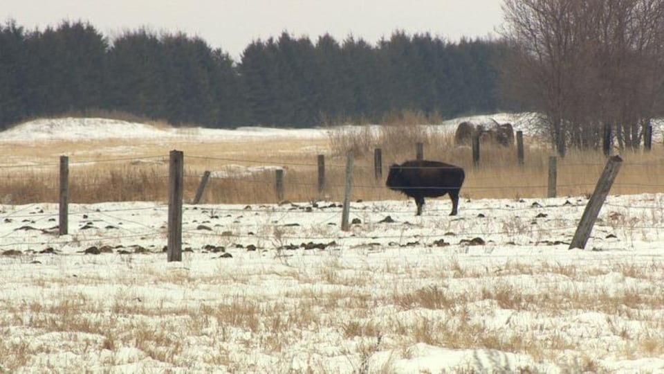 Un bison au milieu d'un champ à Lorette.