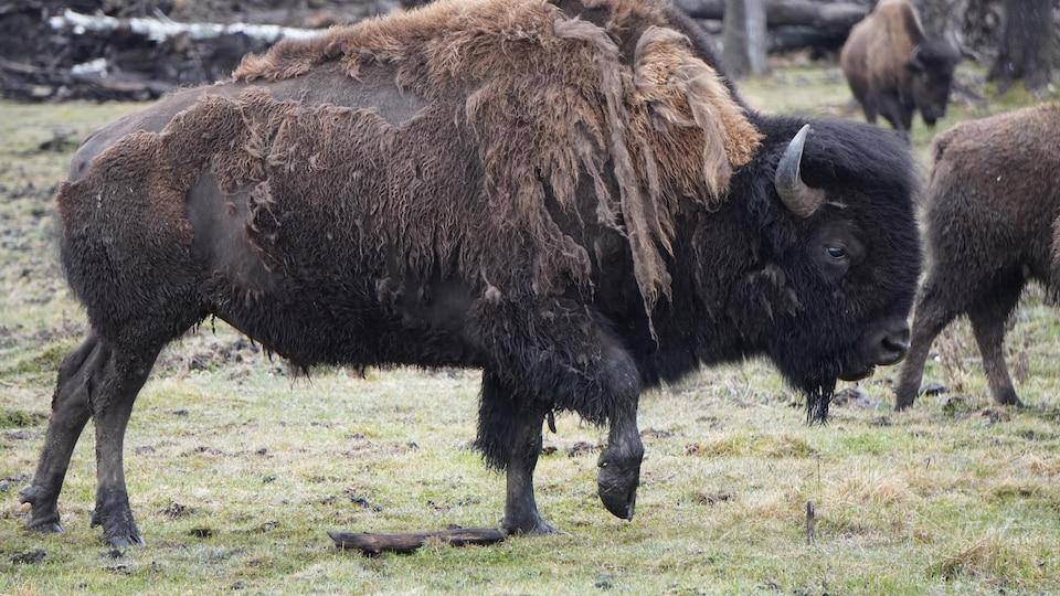 Un bison au centre de villégiature Cedar Meadows, à Timmins.