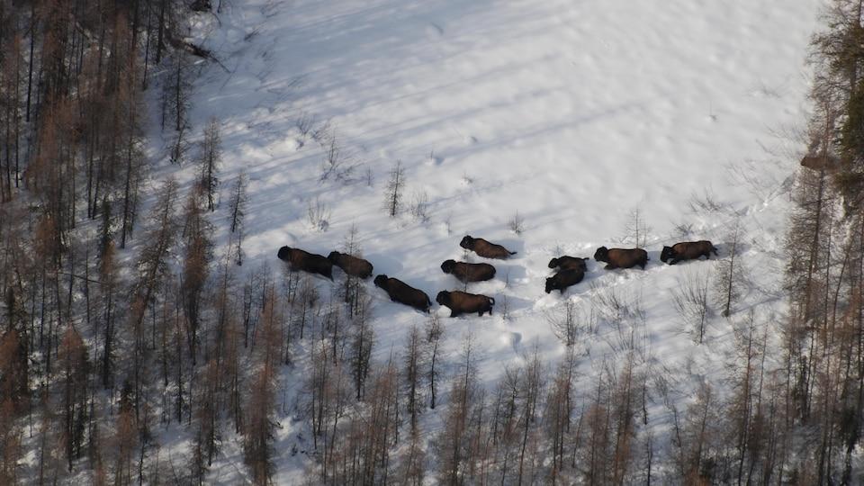 Vue d'oiseau sur un troupeau de bisons qui marche dans la neige.