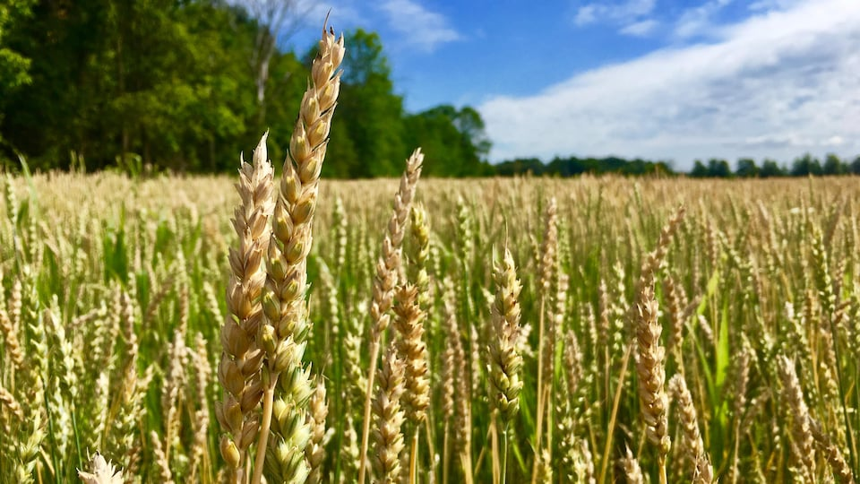 Un champ de blé un peu sec.