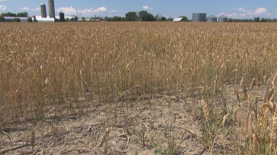 Un champ de blé sec.