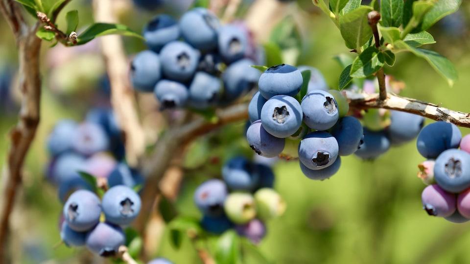 Des bleuets sont bien visibles dans un champ.