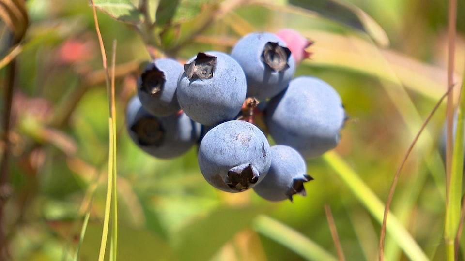 Quelques bleuets en gros plan dans un champ.