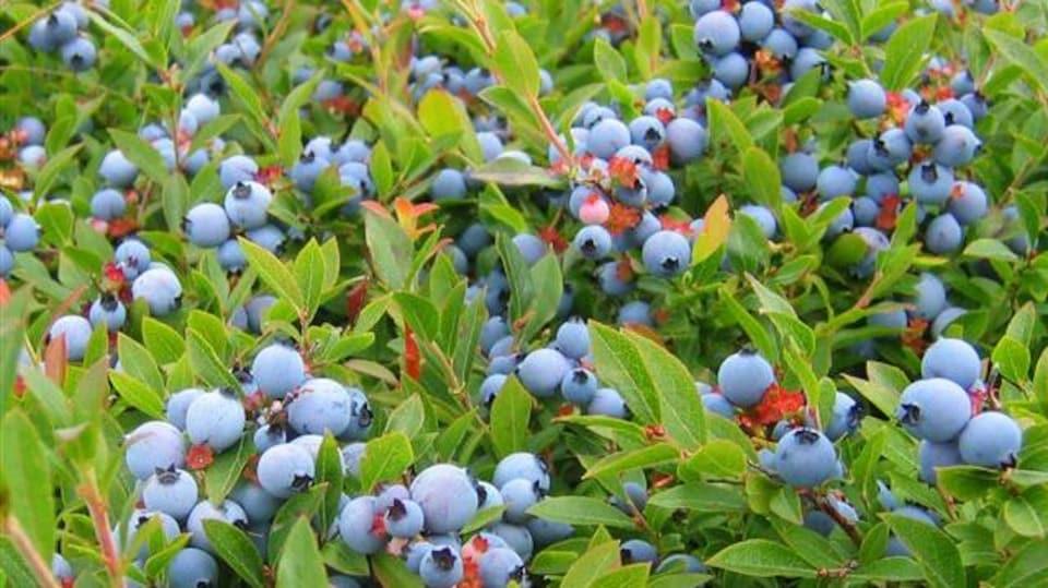Des plants chargés de bleuets mûrs dans un champ.